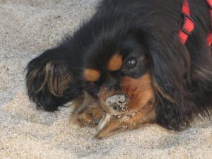 Life lessons: Dagny the Cavalier King Charles spaniel