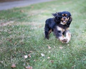 Dagny the Cavalier King Charles spaniel running