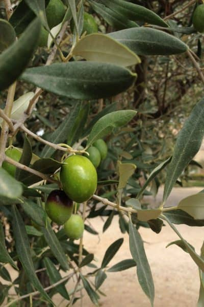 Castelas Olive oil mill