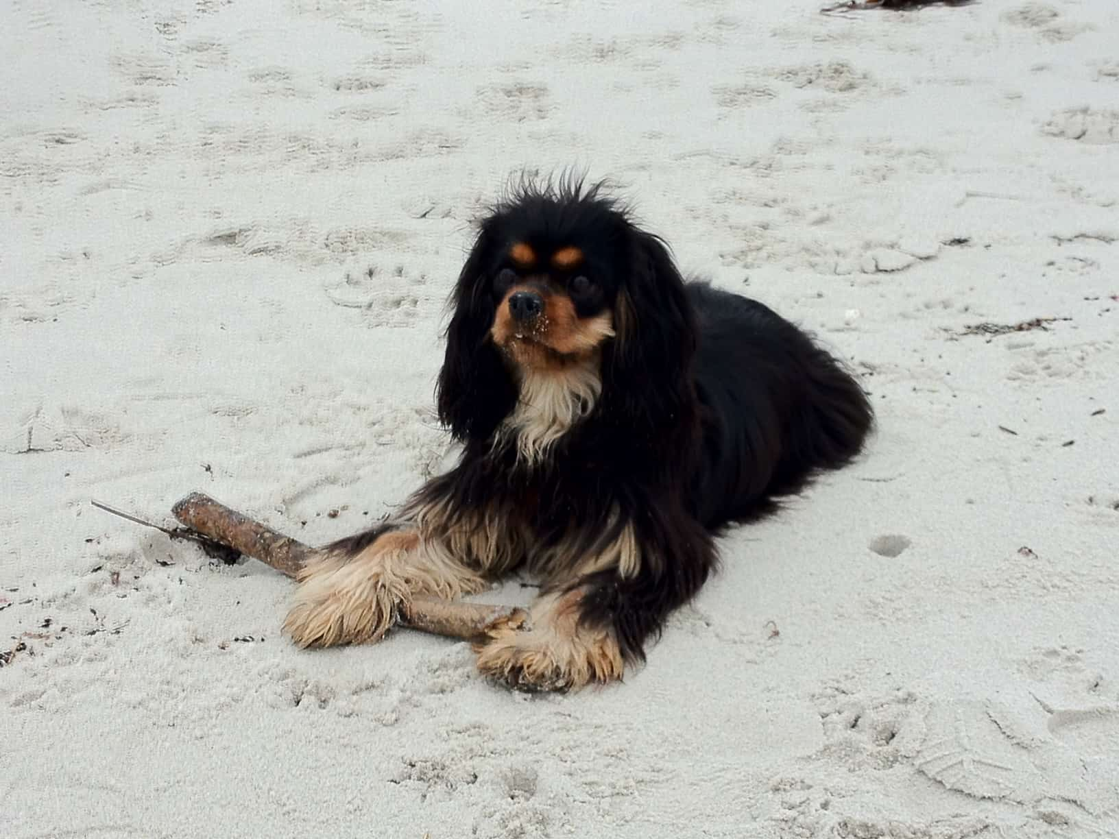 Dagny the Cavalier King Charles spaniel in Brittany