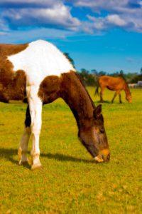 Horse animal communication