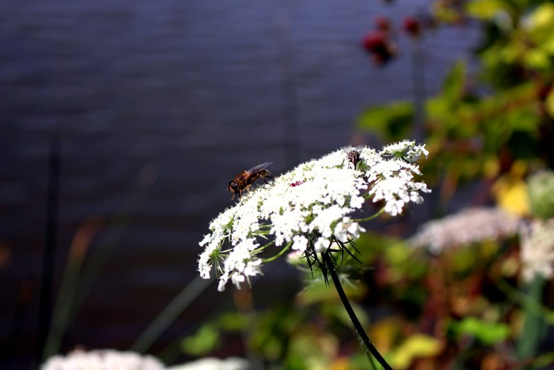 bee on a white flower nature photo