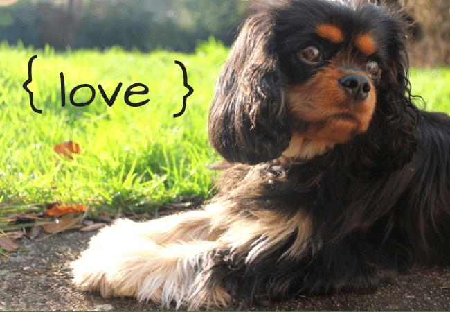 cavalier-king-charles-{ love }