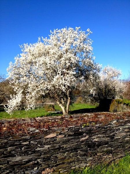 ardoisieres-blooming-tree