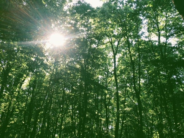 forest-trees-sunburst