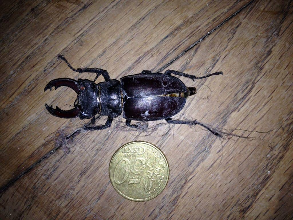 stag-beetle-in-france