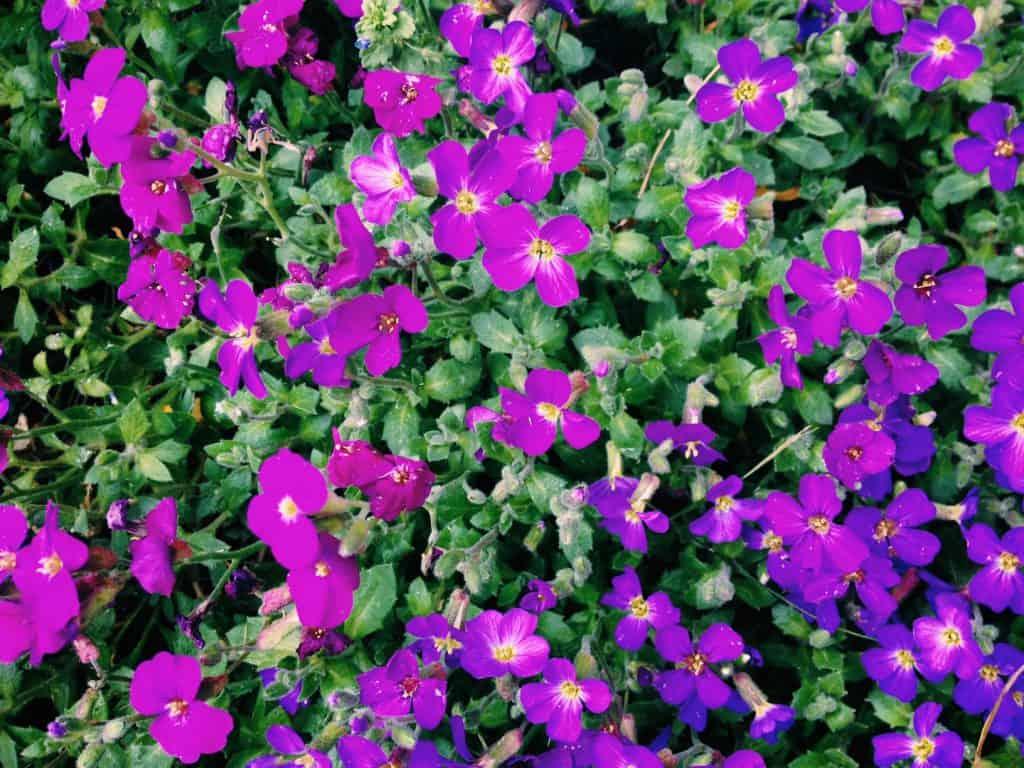 purple-flowers-in-yard