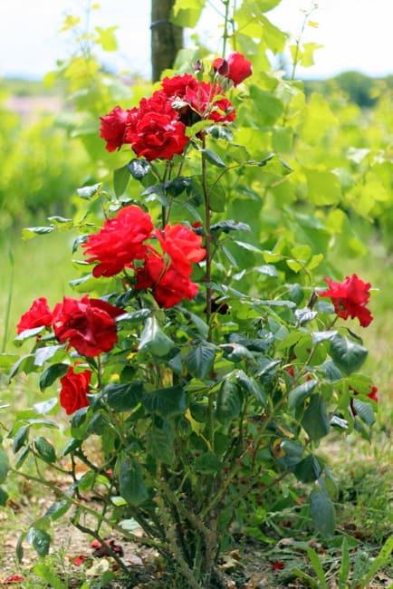 vinyards-roses