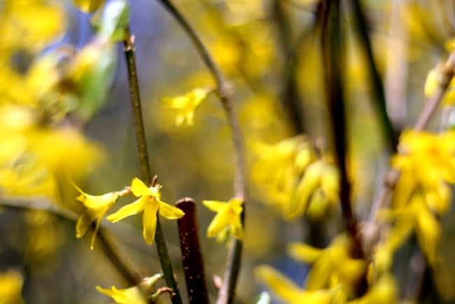 forsythia flowers yellow
