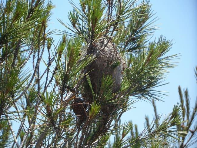 pine processionary caterpillar nest