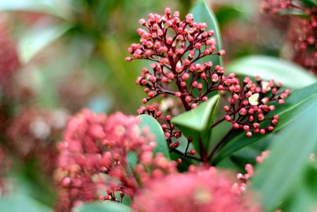 red bush in yard