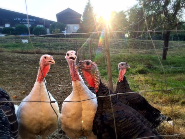 turkeys-in-alsace-france
