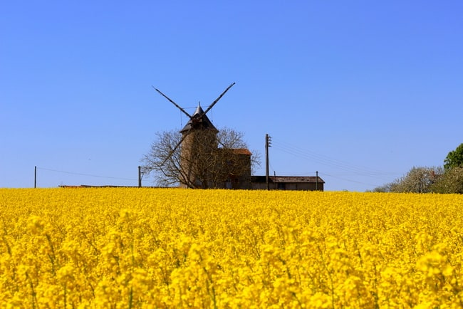 saumur rapeseed field windmill