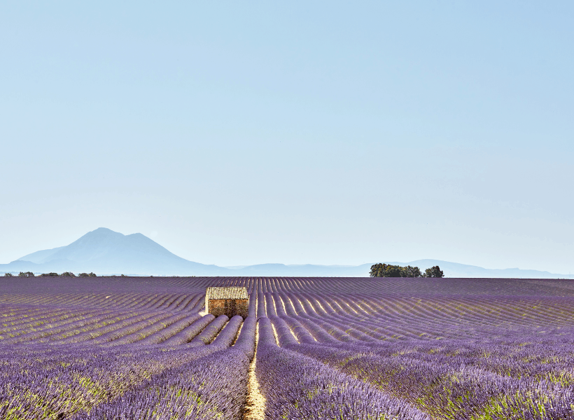 lavender fields what is france famous for provence